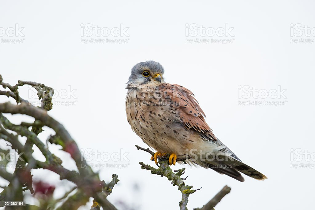 Common Kestrel perched on bare branches stock photo