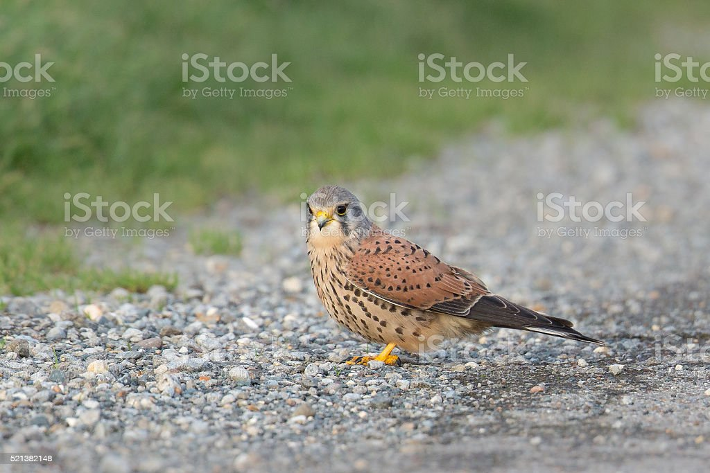 Common Kestrel perched on the ground stock photo