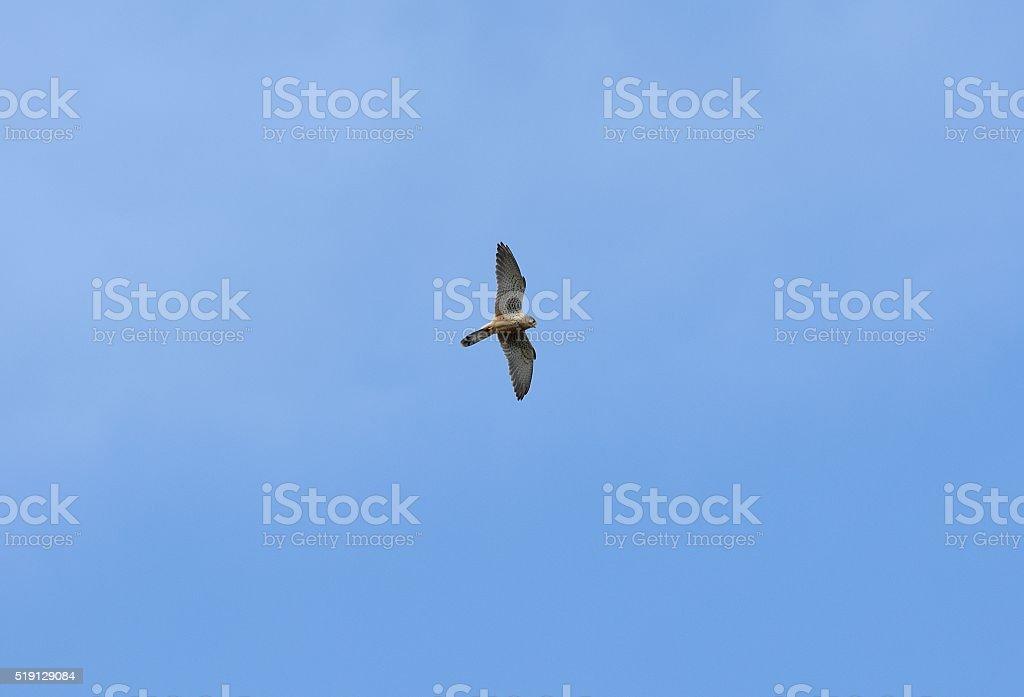 Common Kestrel (Falco tinnunculus) stock photo