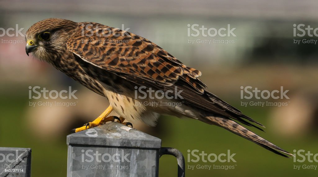 Common Kestrel (female) stock photo