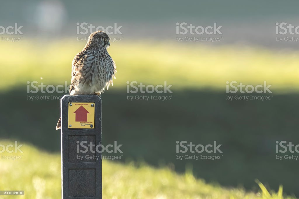 Common Kestrel resting on a sign. stock photo