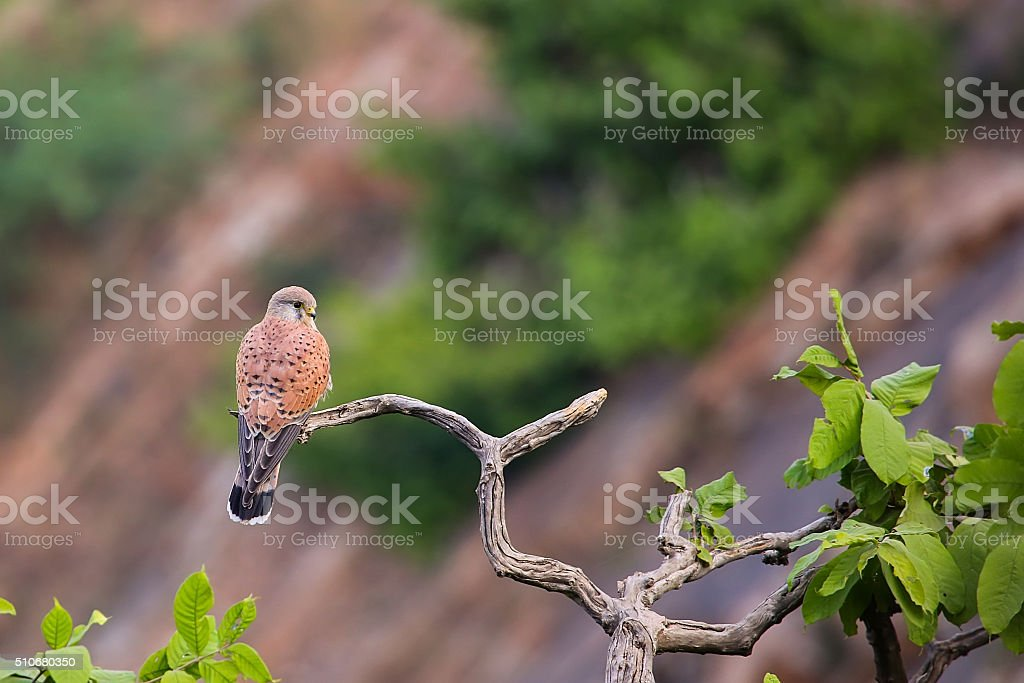 Common Kestrel sitting on a tree. stock photo