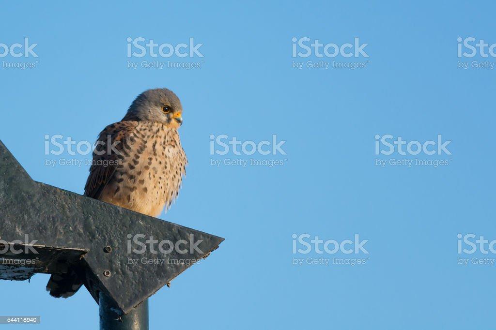 Common Kestrel sitting stock photo