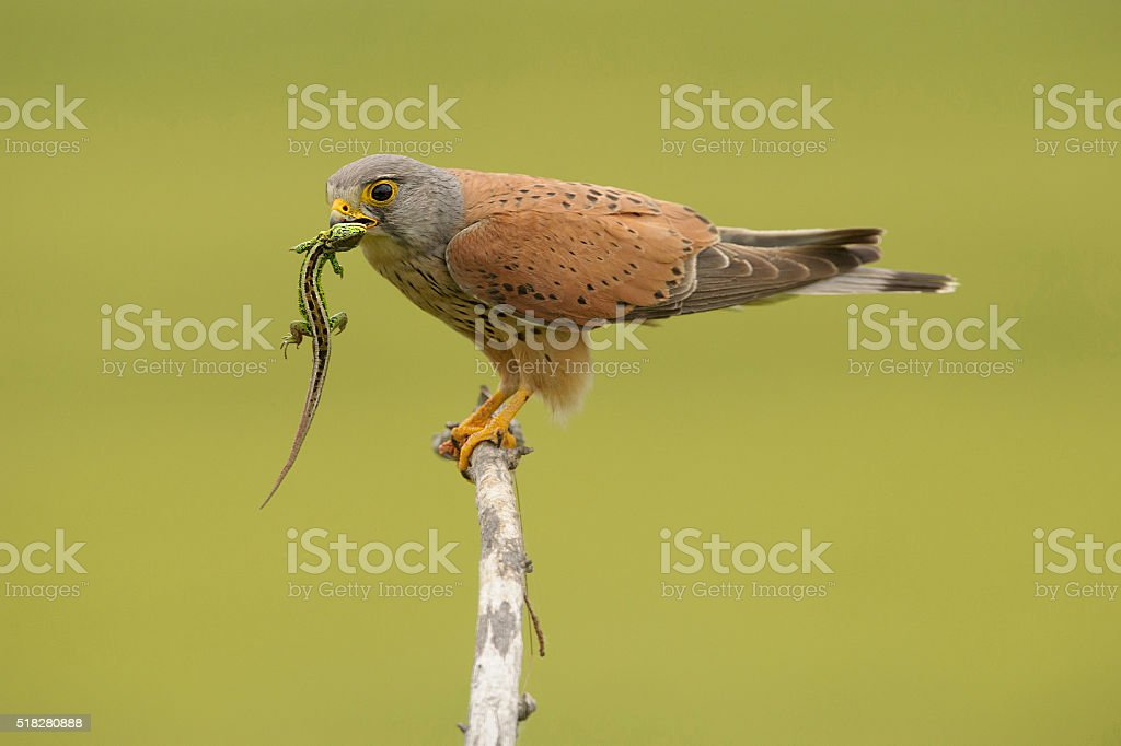 Common kestrel with lizard stock photo