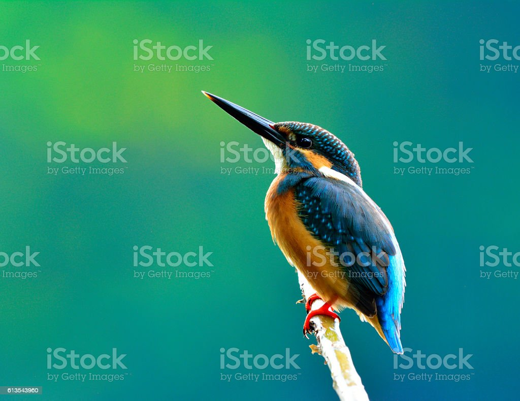 Common kingfisher (Alcedo atthis) a beautiful blue bird showing stock photo
