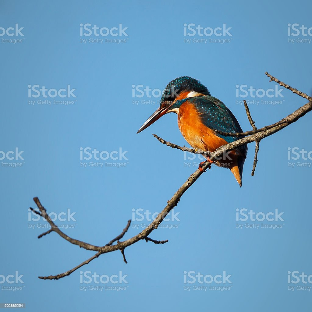 Common Kingfisher - Alcedo atthis stock photo