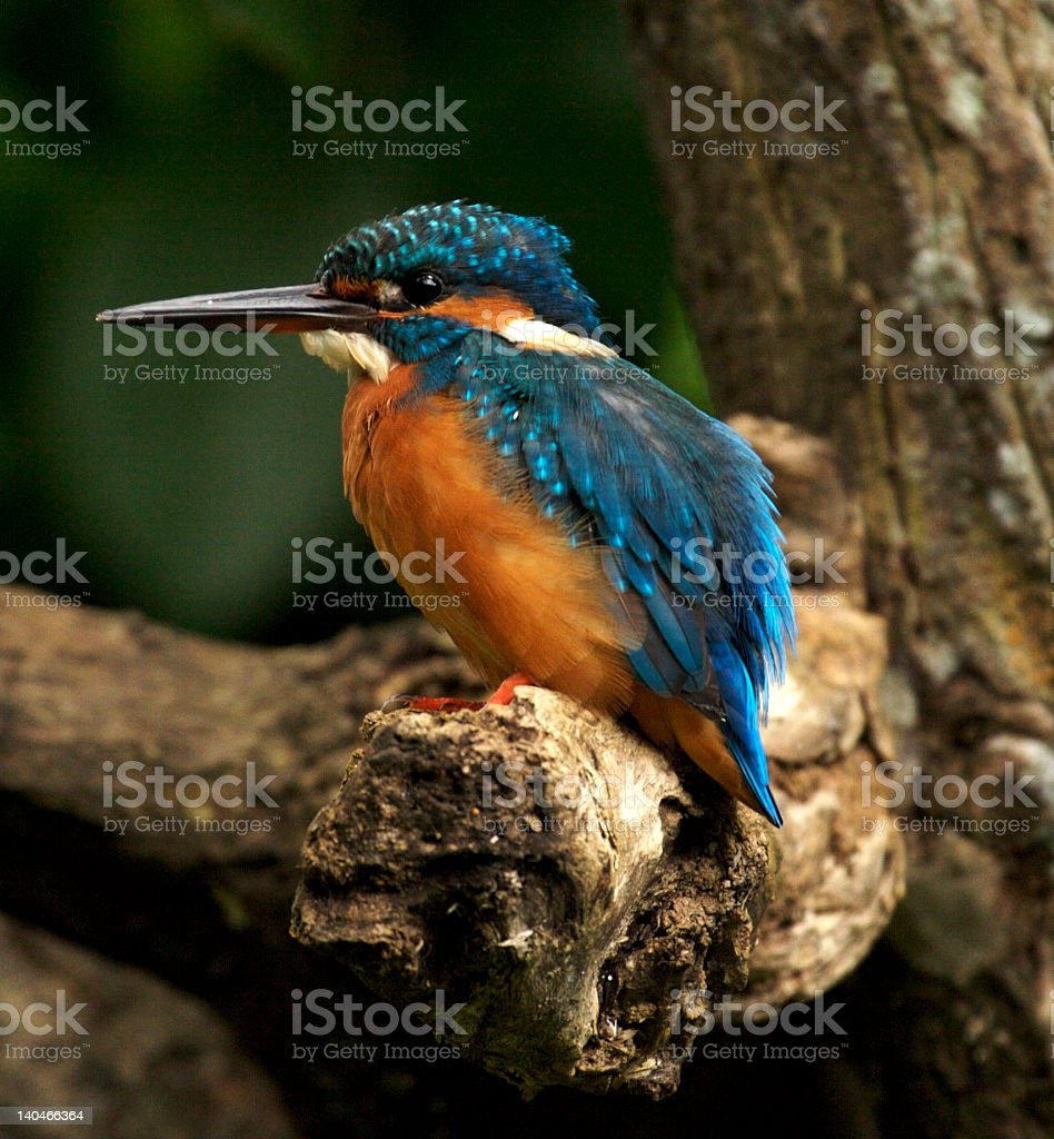 Common kingfisher on a branch of a tree royalty-free stock photo