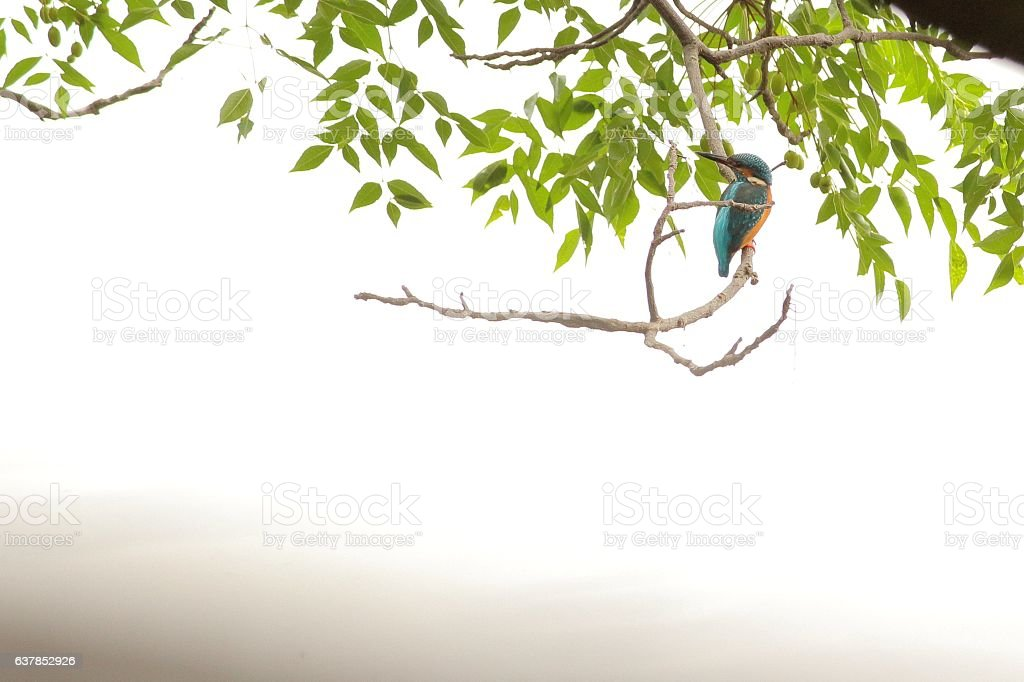 Common kingfisher Part 2 stock photo