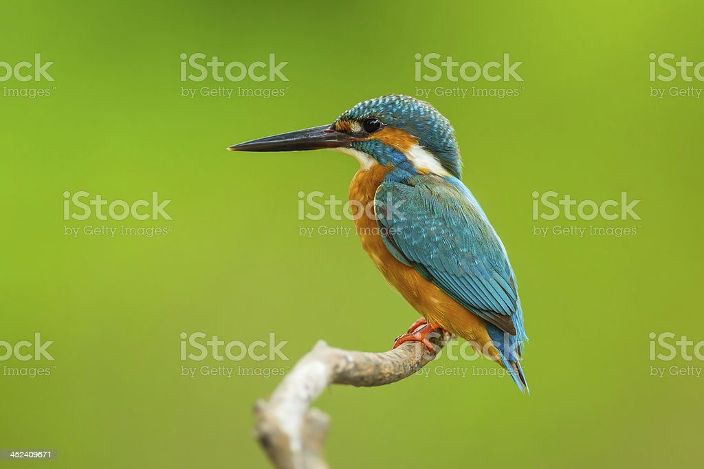 Common kingfisher perched on a branch stock photo