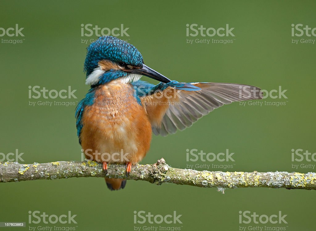 Common Kingfisher ( Alcedo atthis) royalty-free stock photo