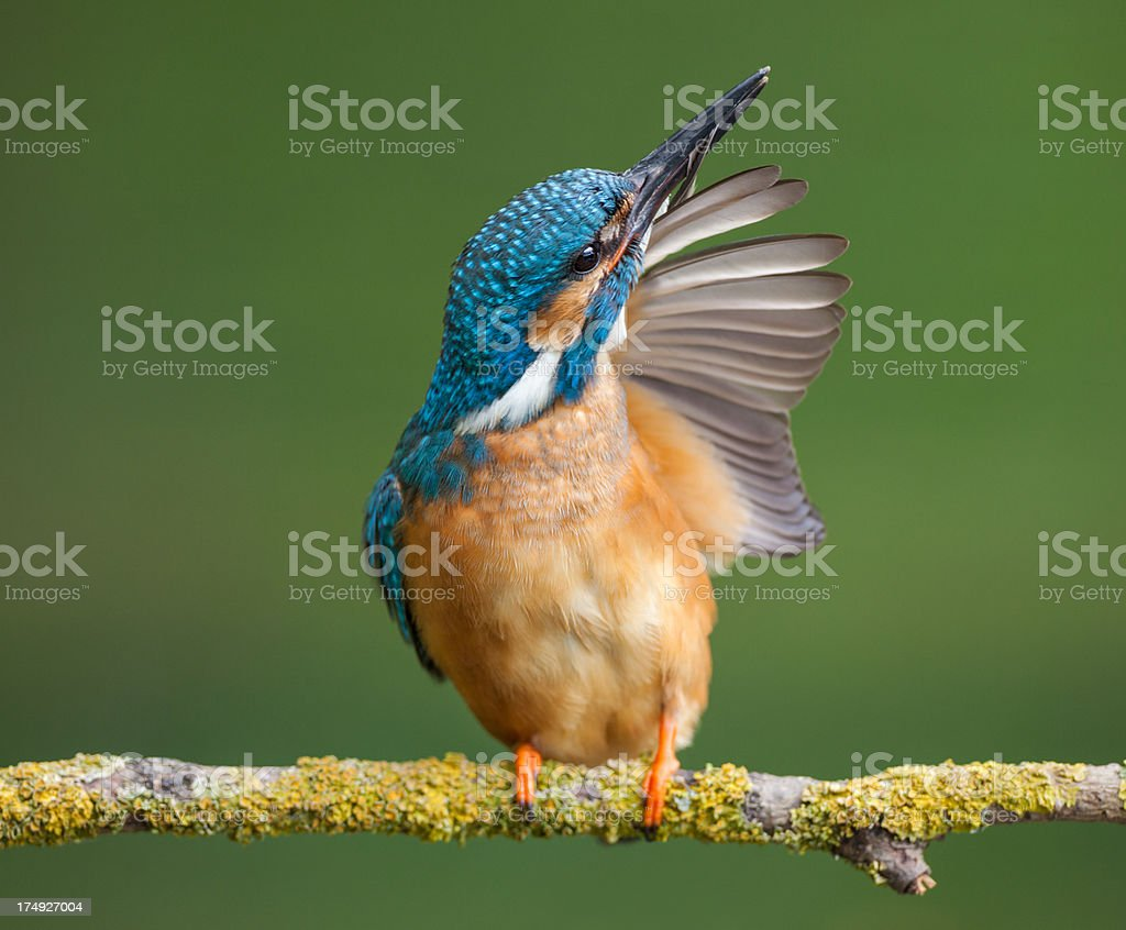 Common KIngfisher royalty-free stock photo