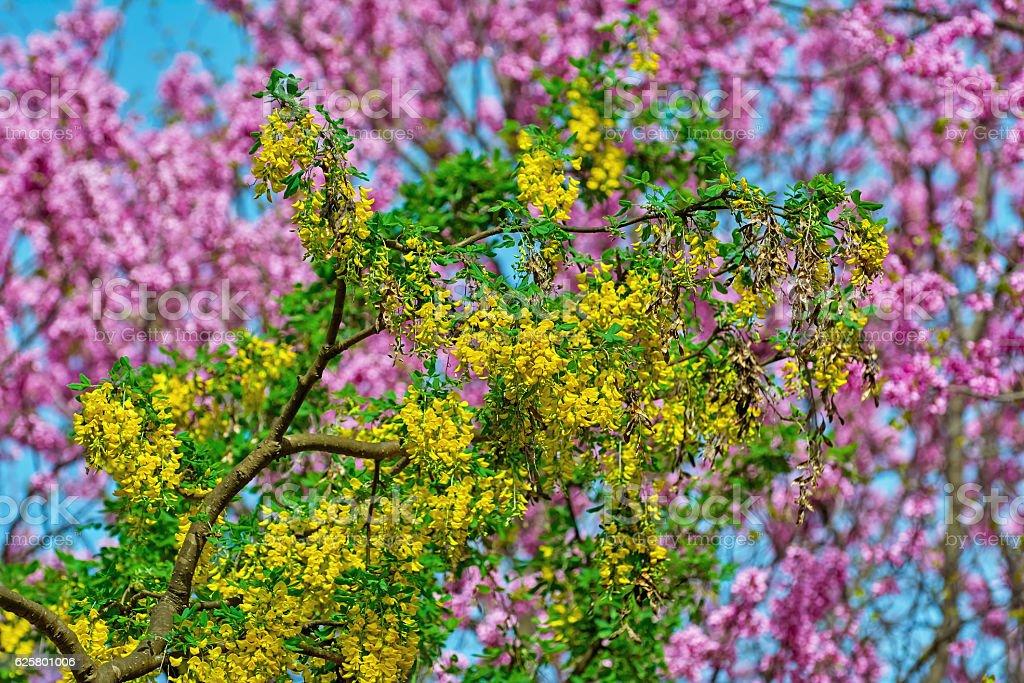 Common Laburnum Flowers stock photo