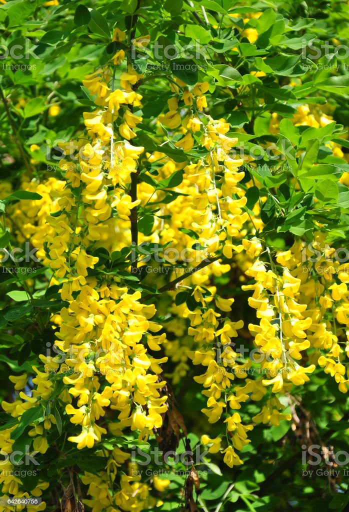 Common laburnum (Laburnum anagyroides) stock photo