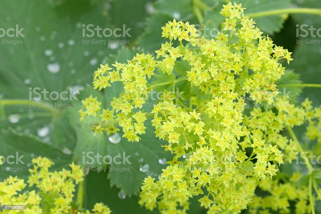 Common Lady s Mantle flowers with morning dews on leaves stock photo