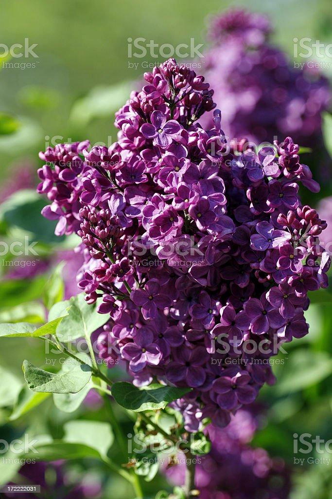 Common Lilac stock photo