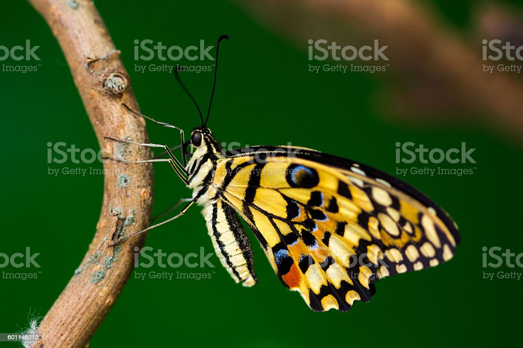 Common lime butterfly stock photo