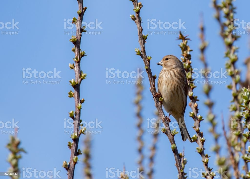 Common Linnet (Linaria cannabina) spotted outdoors stock photo