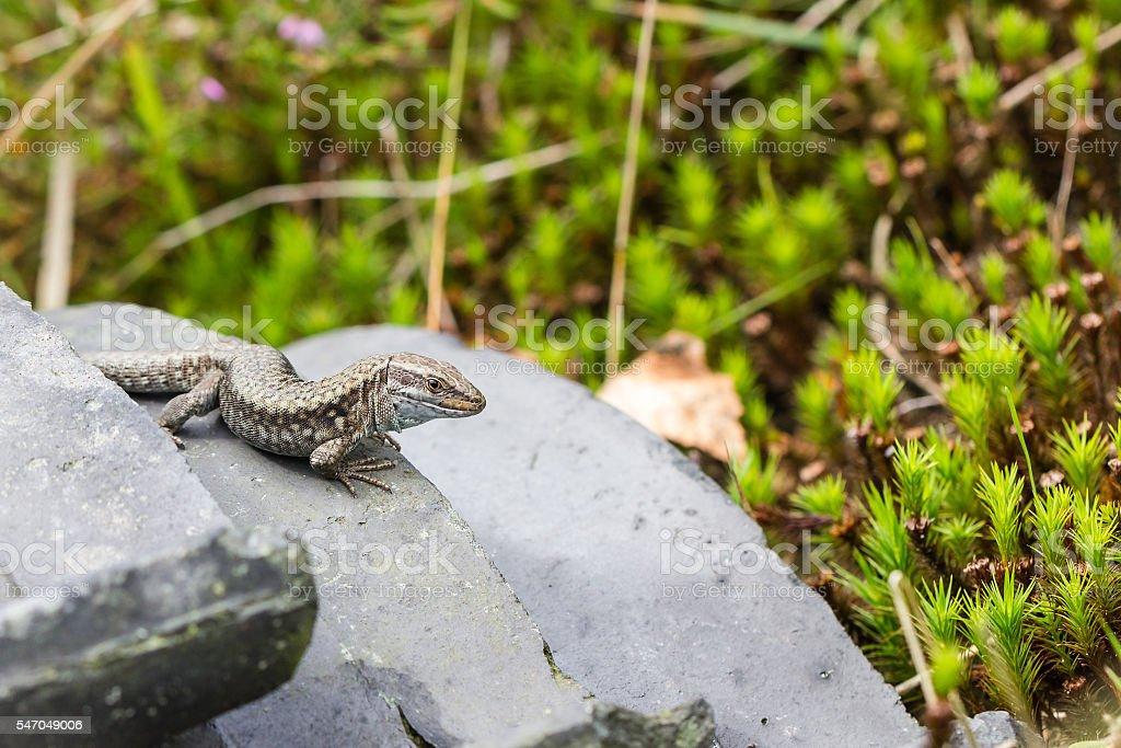 Common lizard (Zootoca vivipara) on a tile stock photo