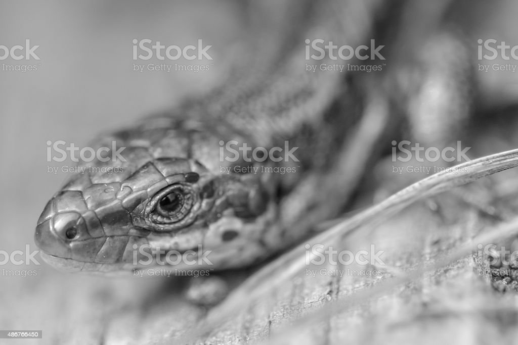 Common Lizard stock photo