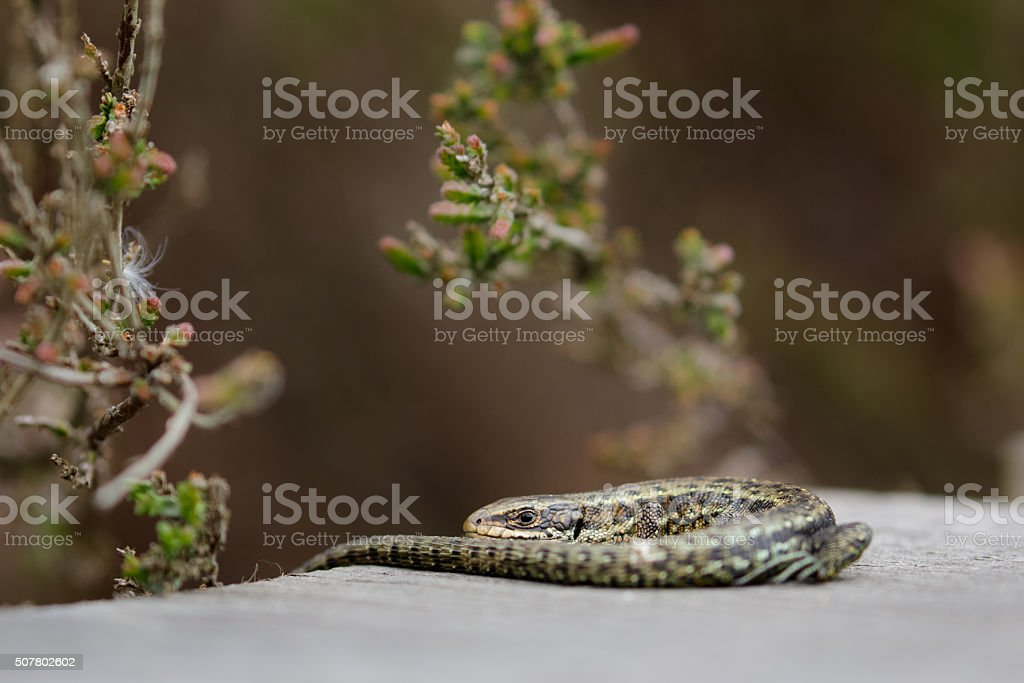 Common Lizard (Zootoca vivipara) stock photo