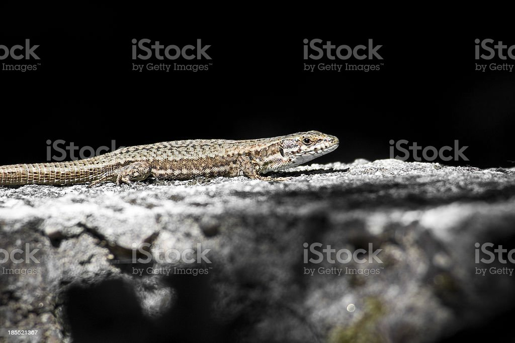 Common Lizard warms in the sun stock photo