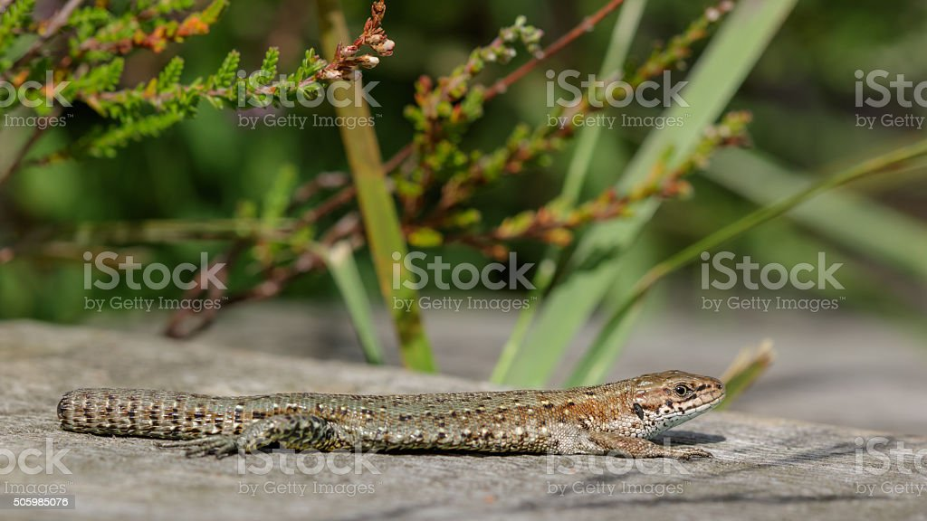 Common Lizard (Zootoca vivipara) with a dropped tail stock photo