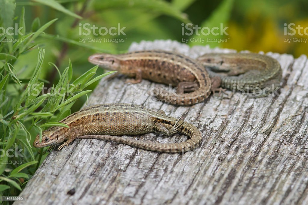 Common Lizards stock photo