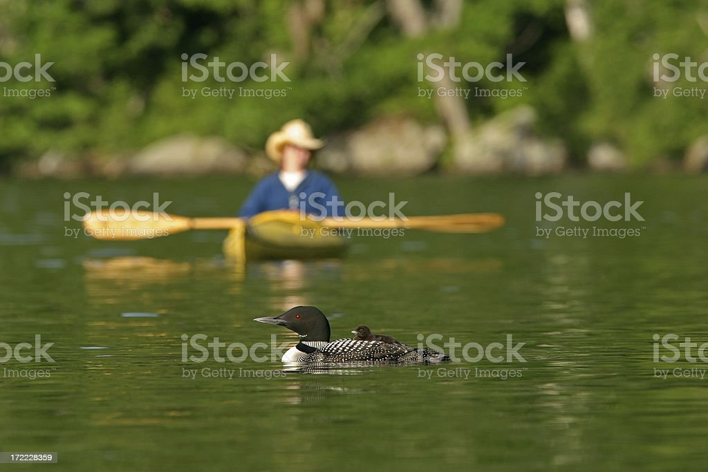 Common Loon and Chick stock photo