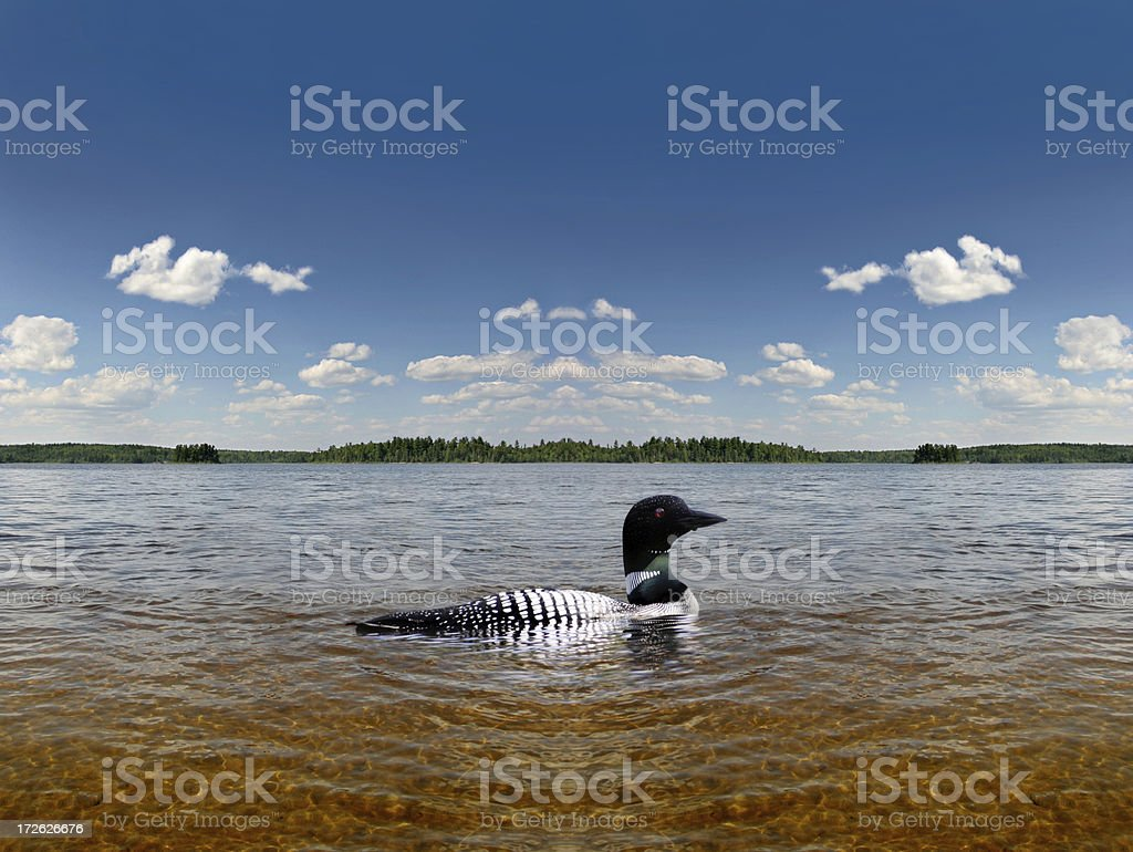 Common Loon in the Boundary Waters Canoe Area stock photo