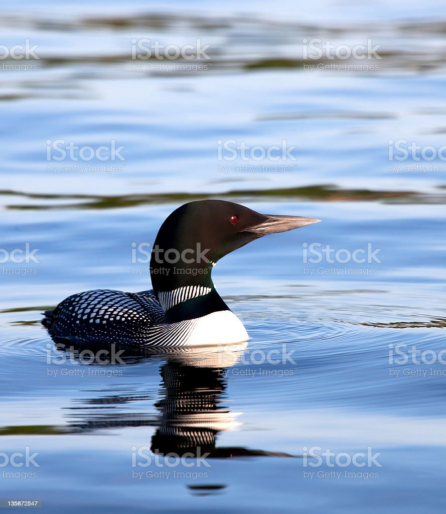 Common Loon on lake stock photo