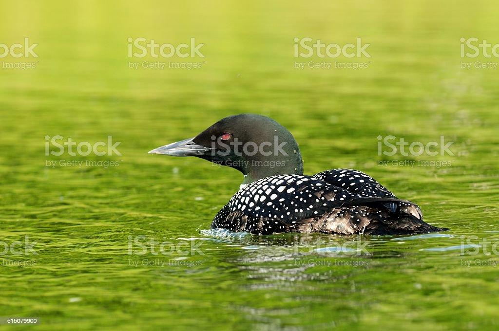 Common Loon stock photo