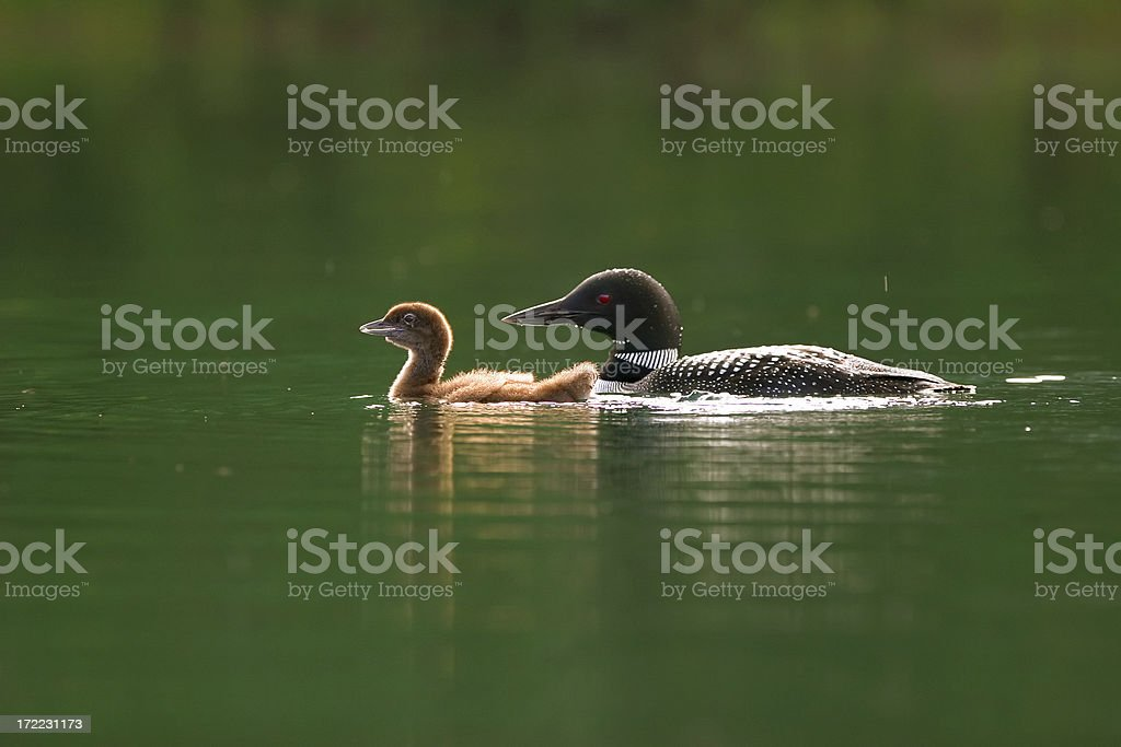Common Loon with Chick royalty-free stock photo