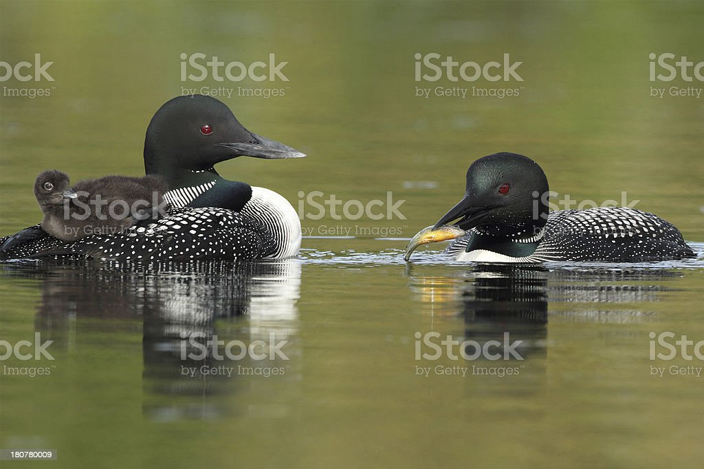Common Loons - Family Breakfast Time royalty-free stock photo