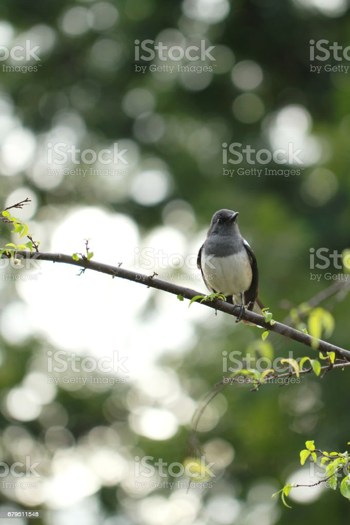 Common magpie bird perching on a branch stock photo