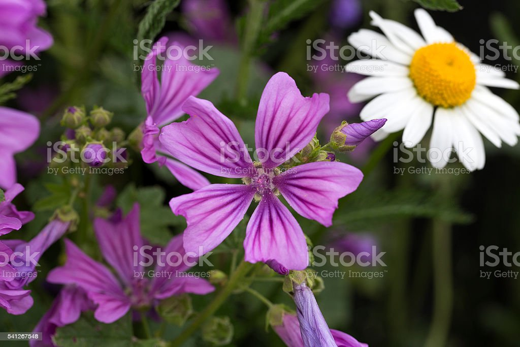 Common Mallow; flower stock photo