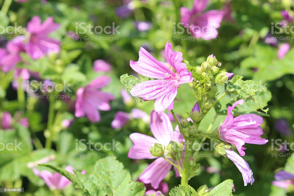 'Common Mallow' flowers - Malva Sylvestris stock photo