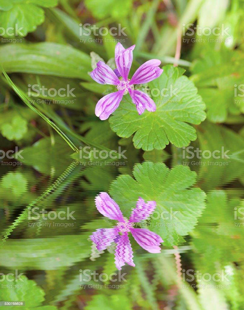 Common mallow herb stock photo