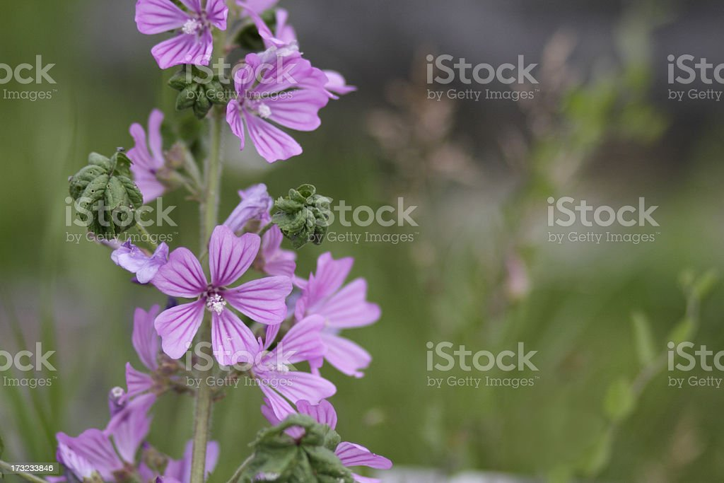 Uncommon beauty in common mallow Malva sylvestris stock photo