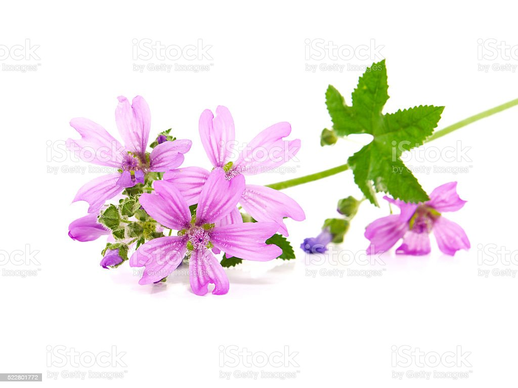 Common Mallow (Malva sylvestris ) stock photo