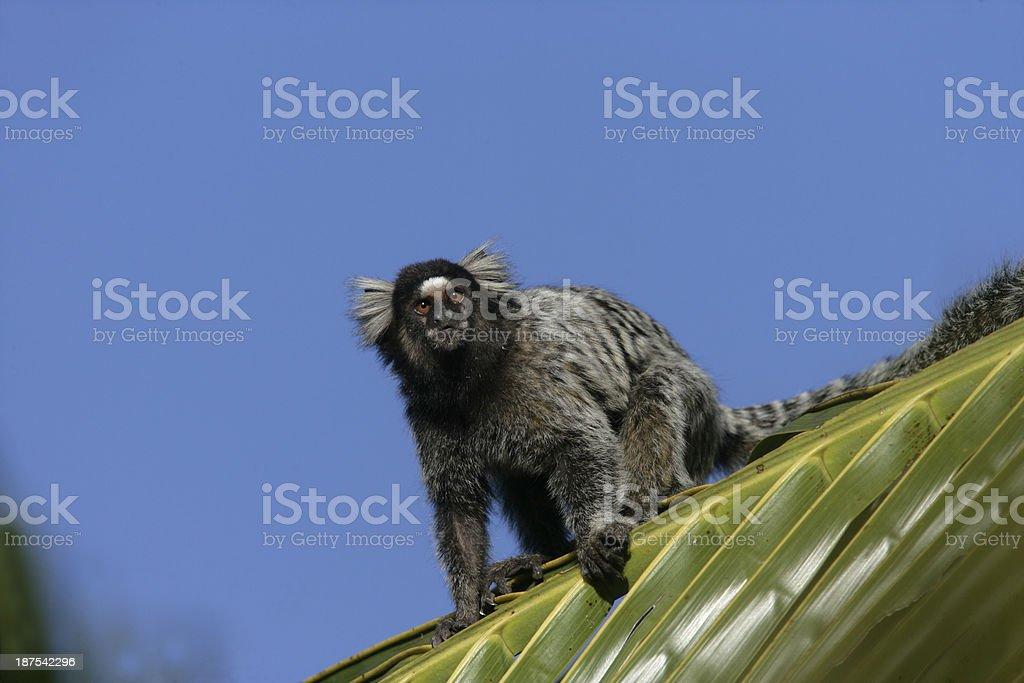 Common marmoset, Callithrix jacchus stock photo