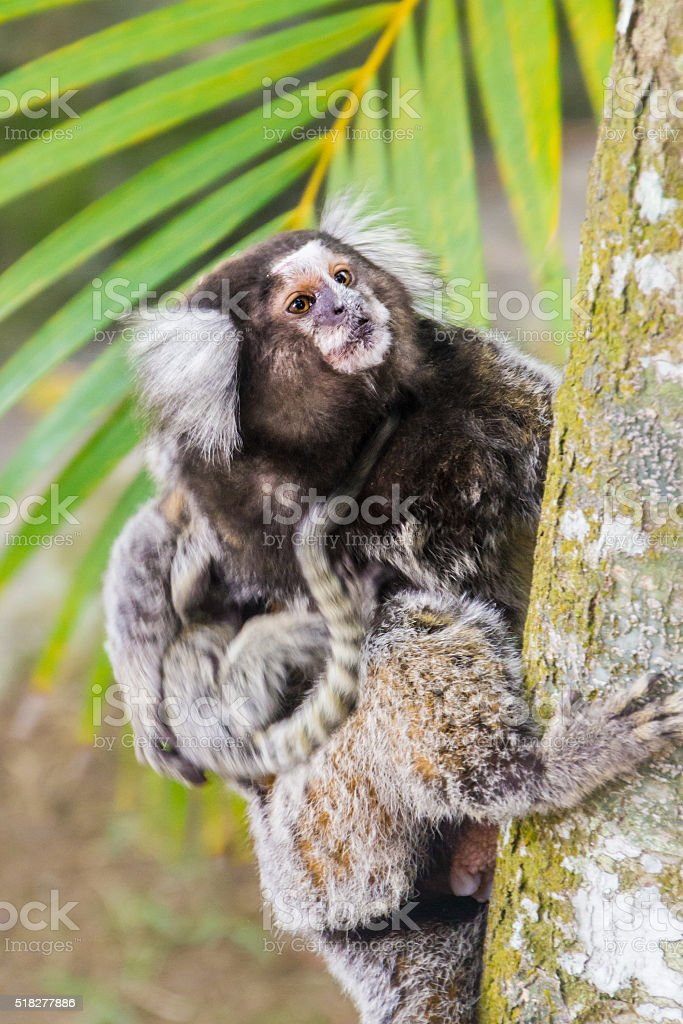 Common marmoset - Callithrix jacchus. stock photo