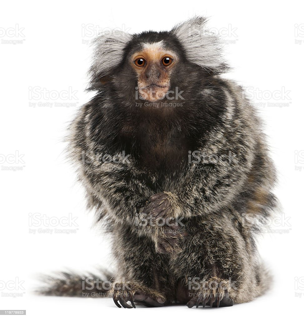Common marmoset, Callithrix Jacchus, posed on white stock photo