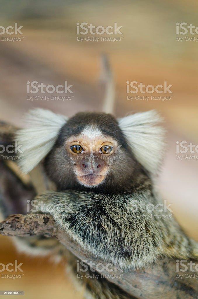Common marmoset or White-eared marmoset (Callithrix jacchus); New World monkey. stock photo