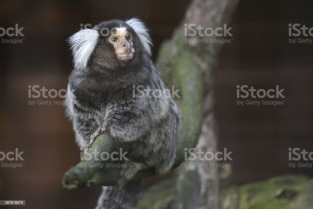 Common marmoset stock photo