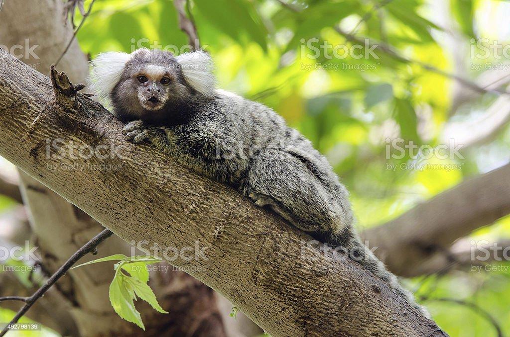 Common Marmoset (Callithrix Jacchus) stock photo