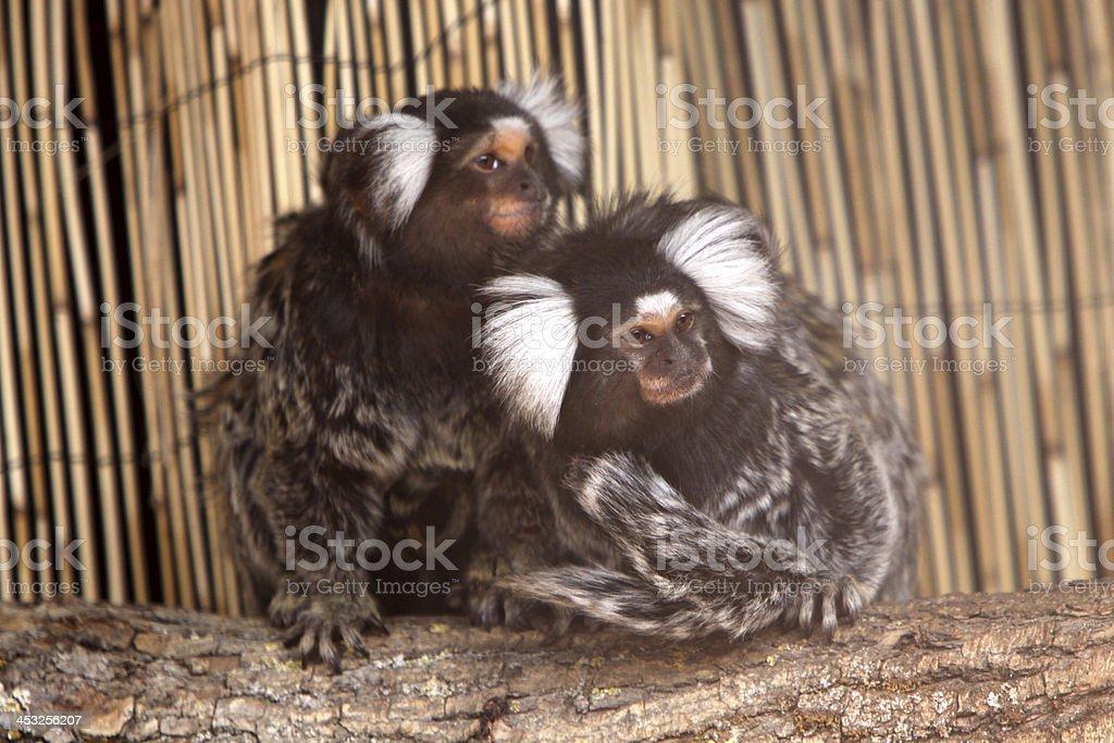 Common marmosets stock photo