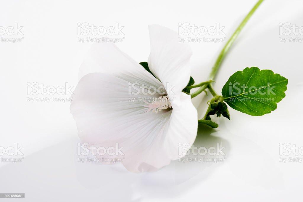 common marshmallow, blossom stock photo