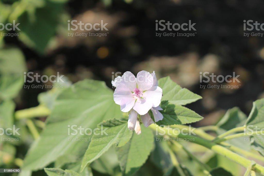 'Common Marshmallow' flowers - Althaea Officinalis stock photo