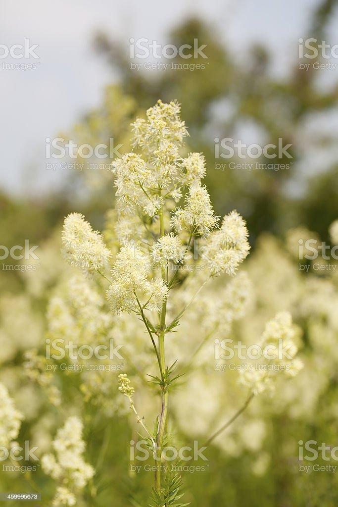 Common Meadow Rue (Thalictrum flavum) stock photo