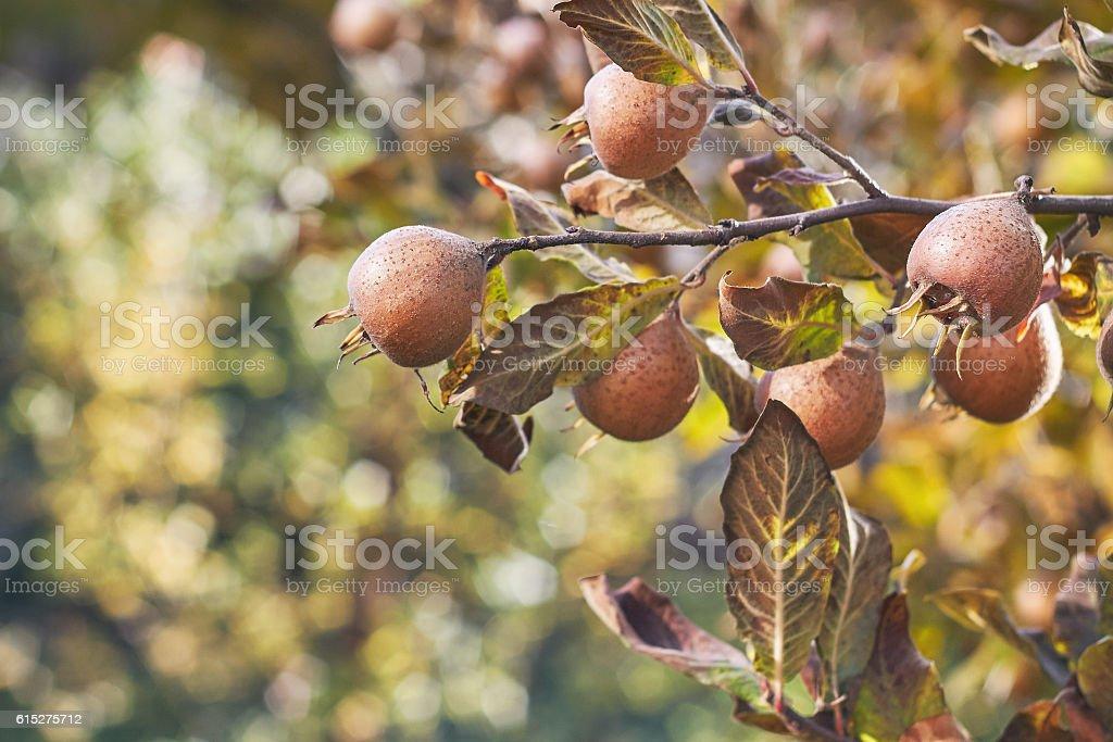 Common medlar fruit stock photo